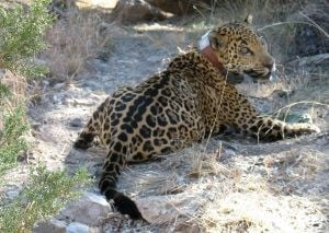 Report: 'Inadvertent' jaguar capture planned