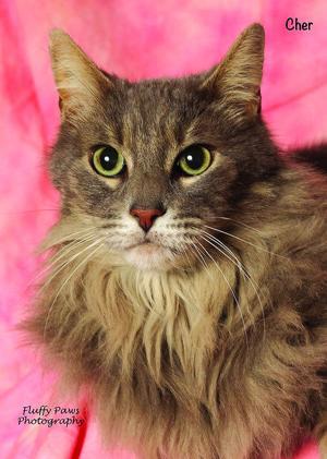 Gorgeous Cher is a lap cat