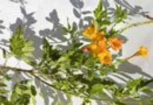 Plant of the week: Desert-adapted orange jubilee
