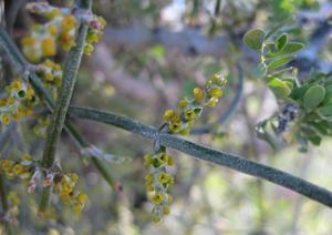 Phoradendron californicum flowers