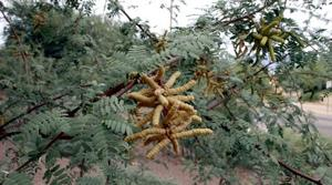 Grind mesquite seed pods into sweet flour