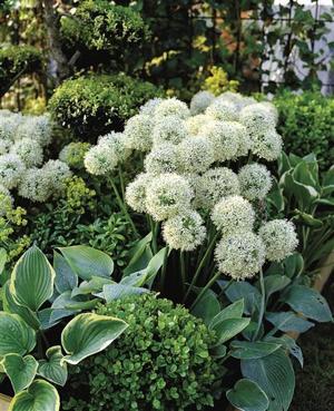 Bulbs-Alliums