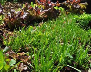 Gardening-Salad Plantain