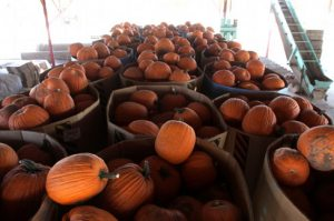 Rise in pumpkin prices predicted