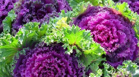 Ornamental Kale: A Depression-era beauty