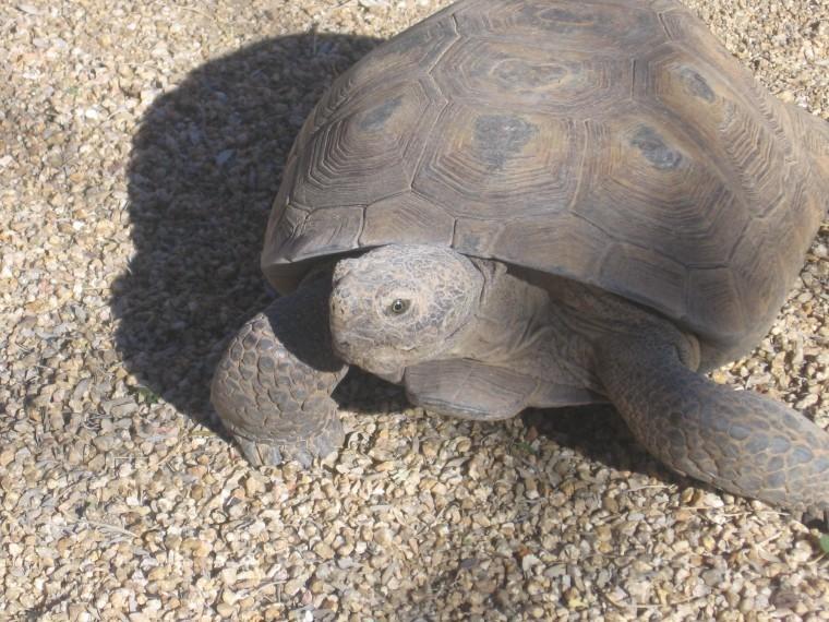 Sonoran tortoise