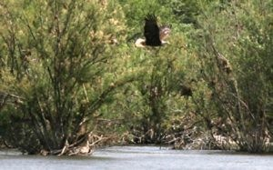 Nest watchers look out for Arizona Bald Eagles