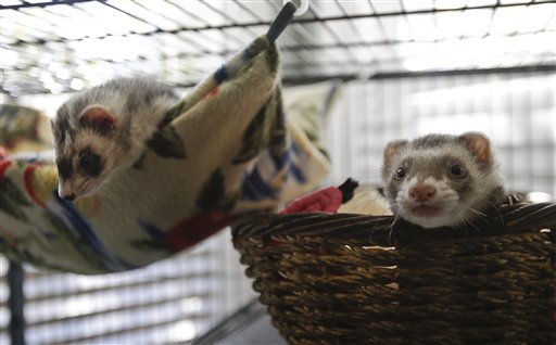 ferret ferrets