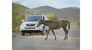 Policy will limit where horses and cattle roam