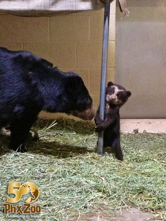 Phoenix Zoo's new Andean bear cub