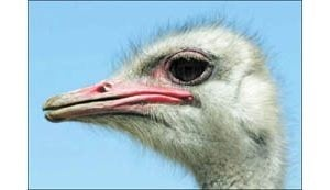 The spotlight is on some really big birds this weekend at Chandler Ostrich Festival
