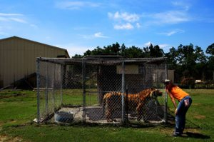 Missouri sees second tiger attack in as many days