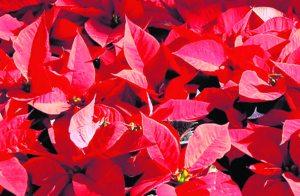 Poinsettia festival celebrates signature holiday flower
