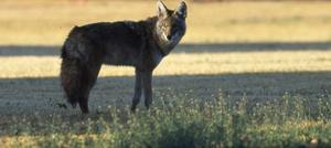 Coyotes making themselves at home in Valley