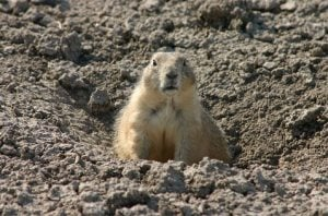 Feds remove prairie dogs from endangered list