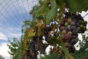 <p>Wine grapes ripen at the Page Springs Cellars and Vineyard, one of one the small Arizona wineries that fear a bill before Congress would lead to them losing the ability to sell directly to customers.</p>