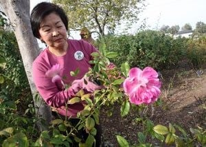 Volunteers arrive to prune MCC's public rose garden