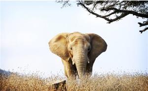 TV-Tomlin-Elephants