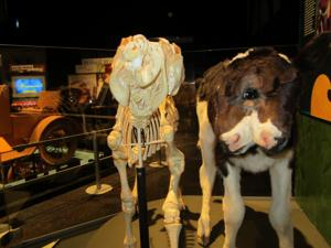 Ripley's Believe It Or Not: Two-headed calf at AZ Science Center