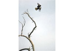 Environmental organizations fight for eagles