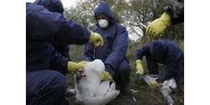 Russia reports bird flu cases