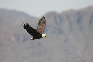Eagles continue to flourish in desert