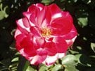 It's time to fertilize the new crop of roses