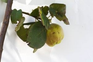Plant of the week: Smyrna Quince