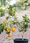 It's key to give your citrus tree some TLC