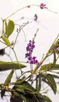 Plant of the week: Lilac vine, flowering plant