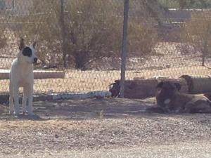 Wild dogs attack neighbors, kill pets in Maricopa
