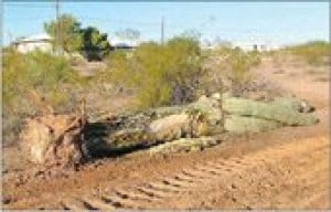 A.J. residents aim to preserve saguaros