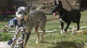 Group rescues cattle dogs from euthanasia