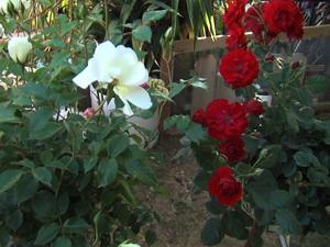 Mesa couple's stolen roses