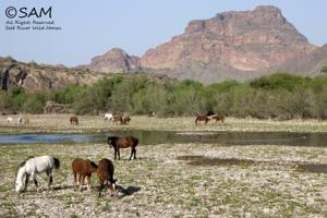 Horses at Salt River