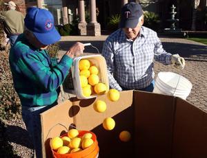 Volunteers pick citrus