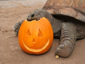 Pumpkin Stomp and Chomp at the Phoenix Zoo