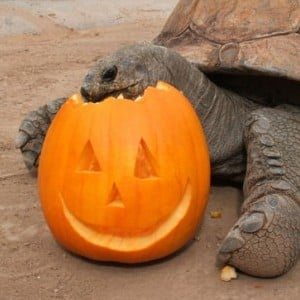 Pumpkin Stomp and Chomp at the Phoenix Zoo