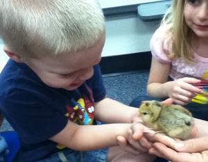 Baby chicks at Burk Elementary School