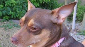 Adopt a Chihuahua from rescue group