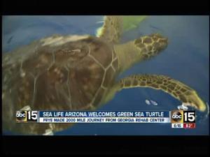 Frye, the sea turtle
