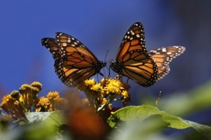Mexico Monarch Butterfly