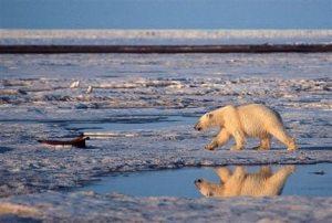 Governor: Alaska to challenge polar bear listing