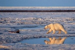 Governor: Alaska to challenge polar bear listing