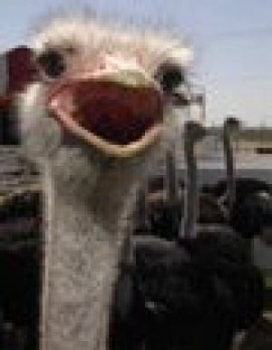 Hot air balloons join Ostrich Festival