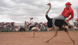 Chandler's Ostrich Festival needs volunteers