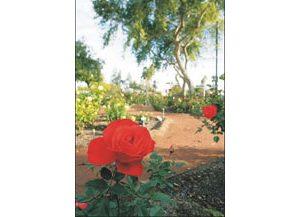 Desert roses rising
