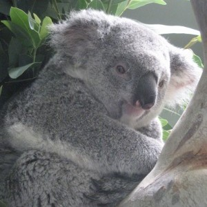 Sooky the koala