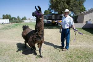 Llamas find refuge at Queen Creek facility