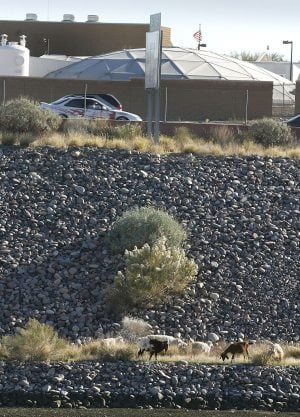 Mesa leases 80 goats to eat weeds